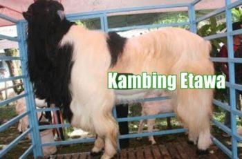 usaha ternak kambing etawa