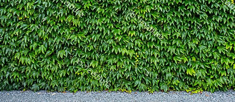daun ivy merambat dinding