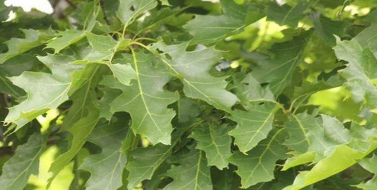 daun oak makanan serangga