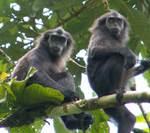 monyet mentawai