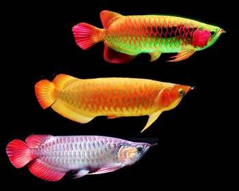 bibit ikan arwana super red