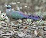 burung langka sumatera