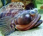 ikan langka