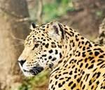 macan tutul