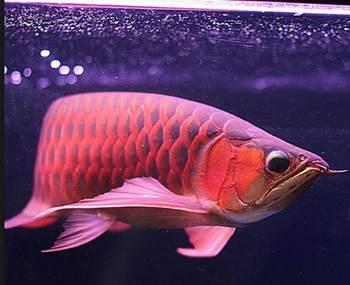 penyakit ikan arwana super red
