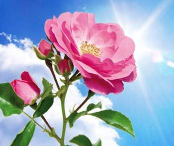 penyinaran bunga mawar