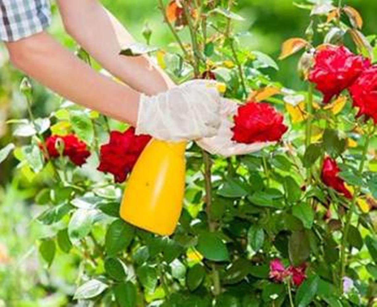 10 Cara Merawat Bunga Mawar Agar Berbunga Lebat Diedit Com