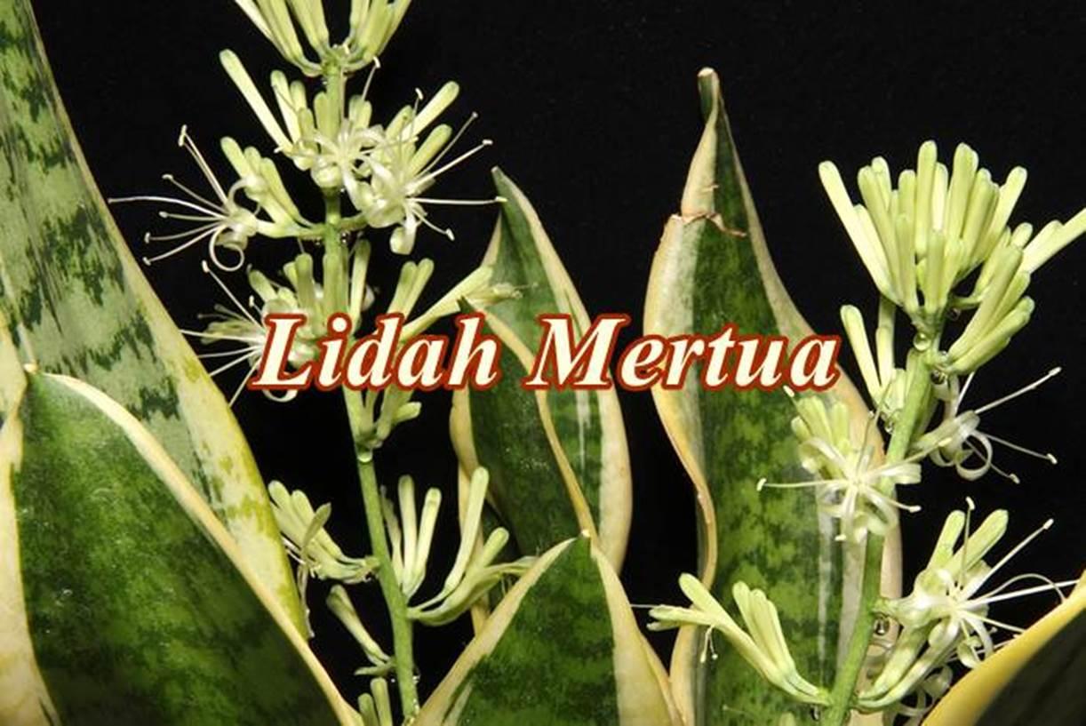 20 Manfaat Tanaman Lidah Mertua Sansevieria Dan Cara Budidaya Diedit Com Manfaat bunga lidah mertua