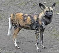 anjing afrika