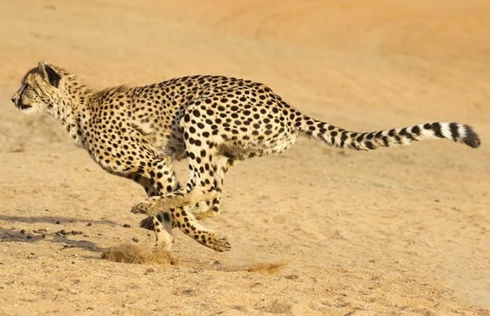 Hewan Lari Tercepat Di Darat