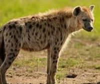 hyena tercepat