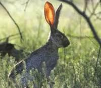 kelinci tercepat
