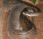 ular python afrika