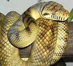 python belang