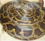 ular terbesar python burma