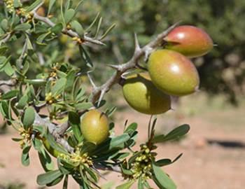 buah pohon argan