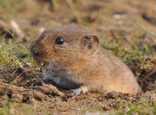 tikus hewan setia
